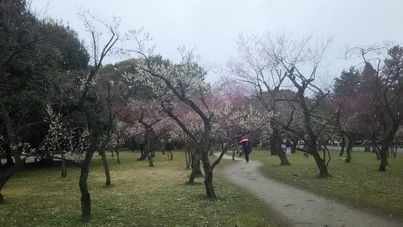 京都御所 梅6 / 京都 ブログガイド