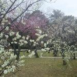 京都御所 梅7 / 京都 ブログガイド