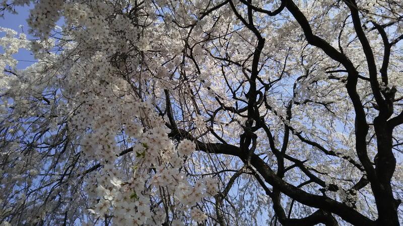 枝垂れ桜 / 京都 ブログガイド