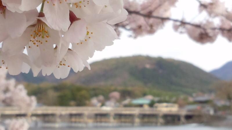 京都 おすすめ 桜スポット / 京都 ブログガイド