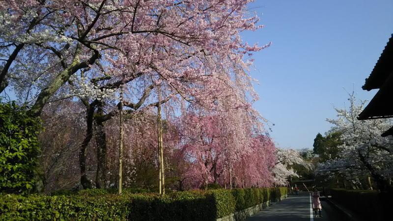 京都 桜 洛東 清流亭の桜1 / 京都 ブログ ガイド
