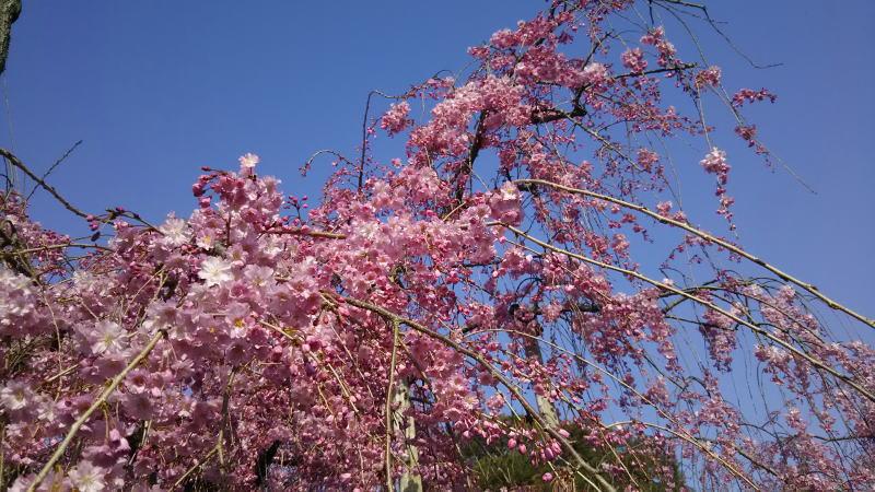 京都 桜 洛東 南禅寺近くの桜3 / 京都 ブログ ガイド