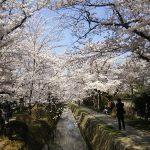 京都 桜 洛東 哲学の道 5 / 京都 ブログ ガイド
