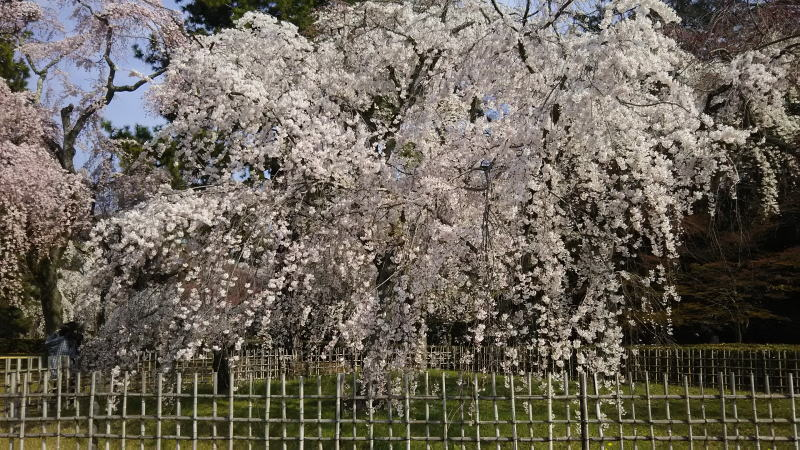 京都 桜 洛中 京都御所3 / 京都 ブログ ガイド