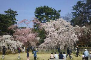 京都 桜 洛中 京都御所の桜7 / 京都 ブログ ガイド