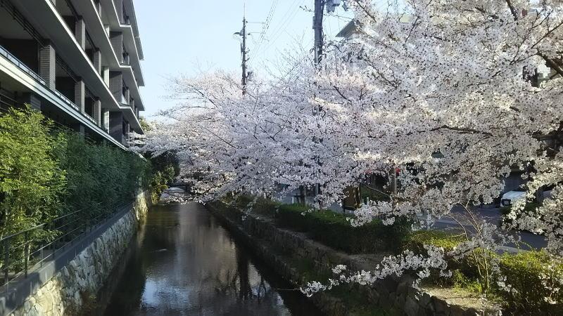 京都 桜 洛中 木屋町1 / 京都 ブログ ガイド