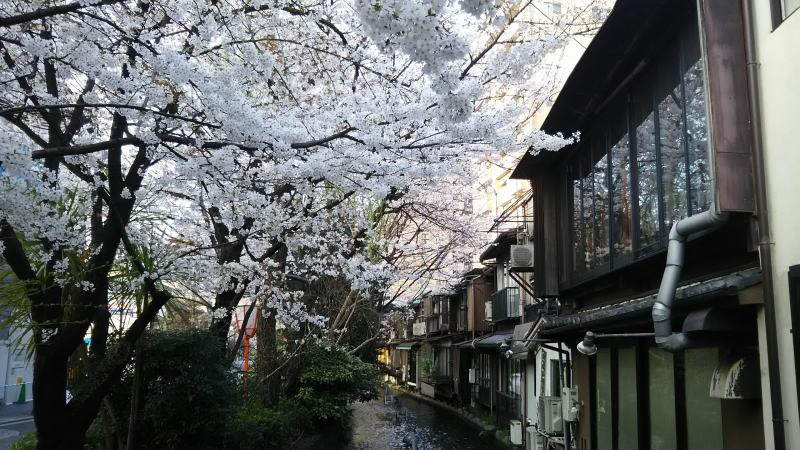 京都 桜 洛中 木屋町2 / 京都 ブログ ガイド