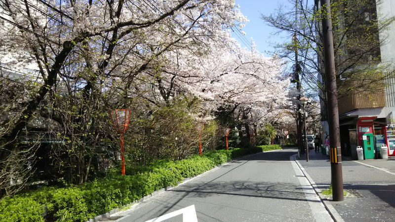 京都 桜 洛中 木屋町3 / 京都 ブログ ガイド