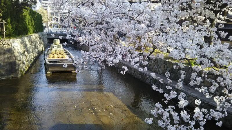 京都 桜 洛中 木屋町5 / 京都 ブログ ガイド