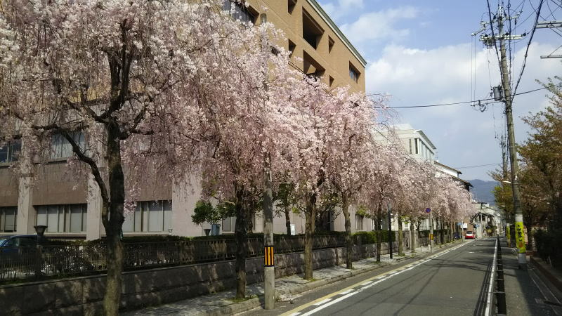 京都 桜 洛中 京都地方裁判所1 / 京都 ブログ ガイド