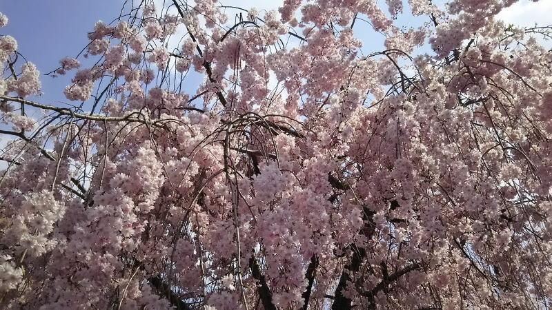 京都 桜 洛中 京都地方裁判所3 / 京都 ブログ ガイド