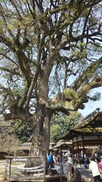 京都 御神木のある神社 京都 桜 洛中 平野神社