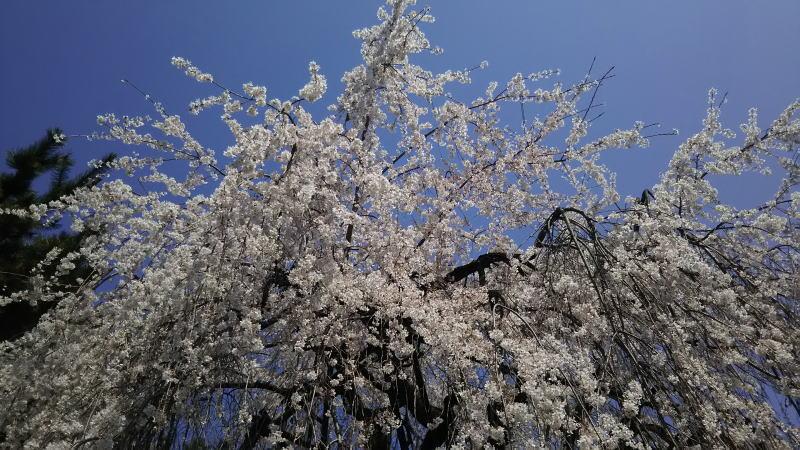 千本釈迦堂 お亀桜2 / 京都 ブログ ガイド