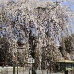 千本釈迦堂 お亀桜1 / 京都 ブログ ガイド