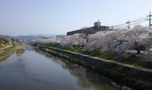 京都 桜 洛北 高野川4 / 京都 ブログ ガイド