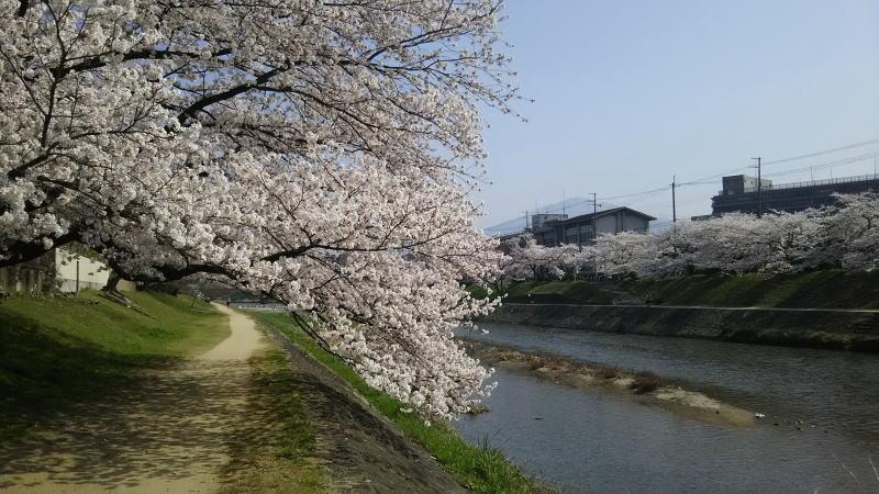 京都 桜 洛北 高野川8 / 京都 ブログ ガイド