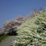 京都 桜 洛北 賀茂川 / 京都 ブログ ガイド