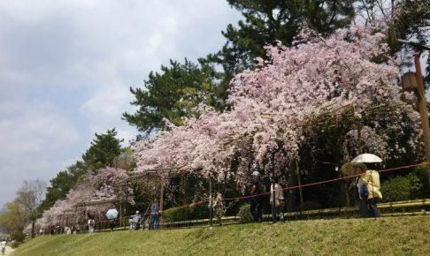 京都 桜 洛北 京都府立植物園 & 半木の道 / 京都 ブログ ガイド