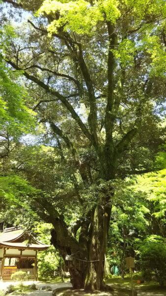 京都 御神木のある神社 賀茂別雷神社(上賀茂神社)