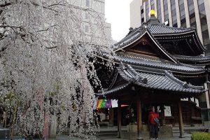 京都 桜 洛中 六角堂 2019 / 京都 ブログ ガイド