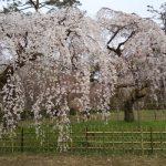 京都 桜 洛中 京都御所 近衛邸跡の桜 2019 / 京都 ブログ ガイド