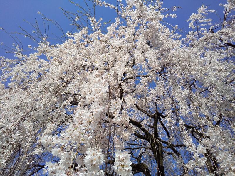本満寺 枝垂れ桜 /京都 ブログ ガイド