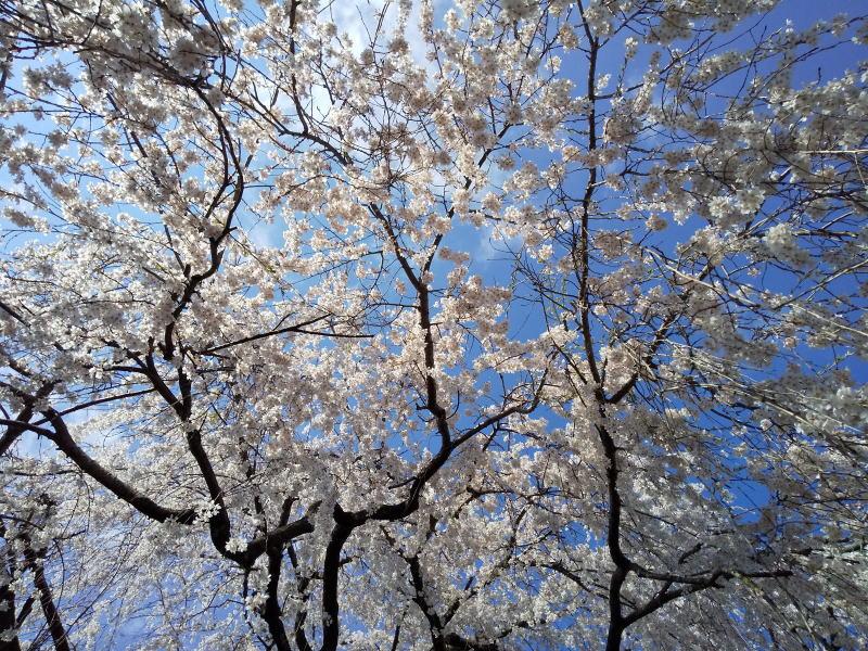 枝垂れ桜 /京都 ブログ ガイド