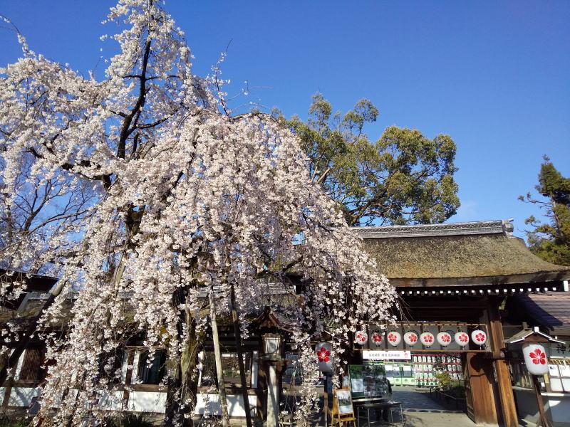 京都 桜 洛中 平野神社 2019 / 京都 ブログ ガイド