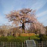 京都 桜 洛東 円山公園 枝垂れ桜 2019 / 京都 ブログ ガイド