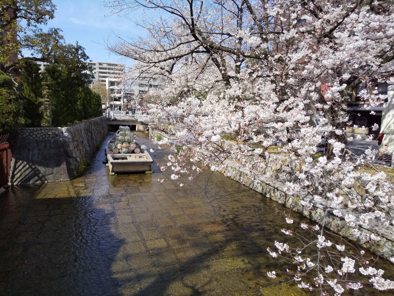 京都 桜 洛中 木屋町通 / 京都 ブログ ガイド