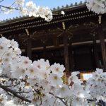 京都 桜 洛中 立本寺 2019 / 京都 ブログ ガイド
