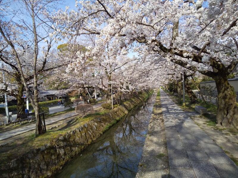 京都 おすすめ 桜スポット 京都 オススメ 桜 スポット 哲学の道1/ 京都 ブログガイド