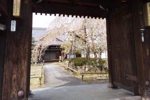 京都 桜 洛中 上品蓮台寺 2019 / 京都 ブログ ガイド