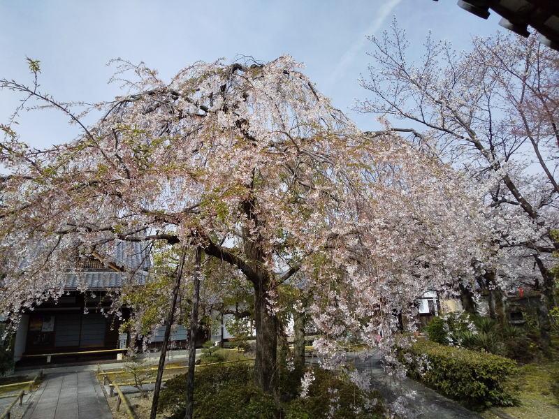 枝垂れ桜 / 京都 ブログ ガイド