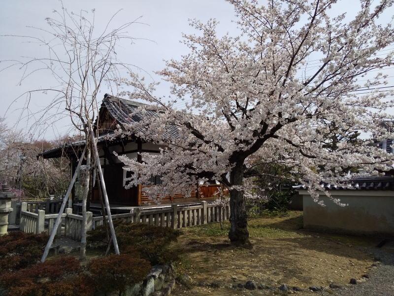 桜 / 京都 ブログ ガイド