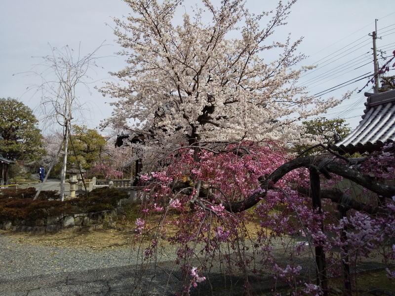 京都 桜 洛中 上品蓮台寺 / 京都 ブログ ガイド