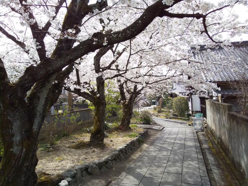 ソメイヨシノ / 京都 ブログ ガイド