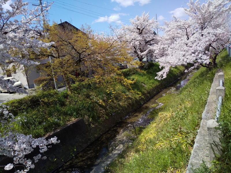 松ヶ崎浄水場辺りの桜 2019 / 京都 ブログ ガイド