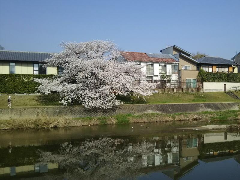 高野川 桜 台風被害前2018 / 京都 ブログ ガイド