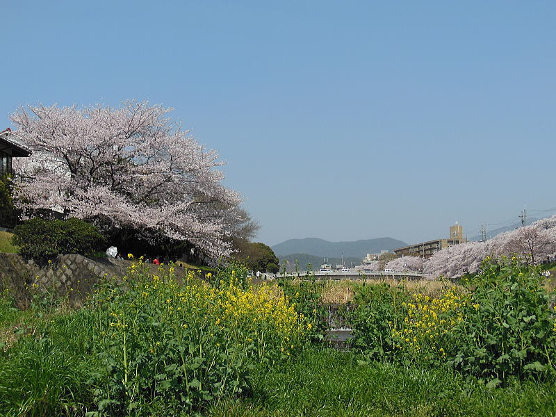 高野川 桜 2013 / 京都 ブログ ガイド