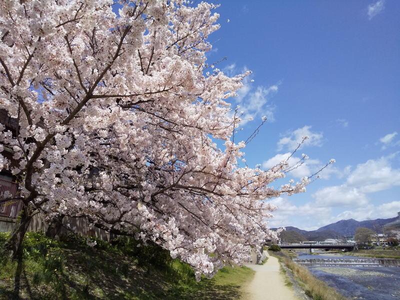 京都 オススメ 桜 スポット 高野川/ 京都 ブログガイド