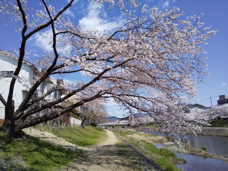 2018台風21号被害の桜 / 京都 ブログ ガイド