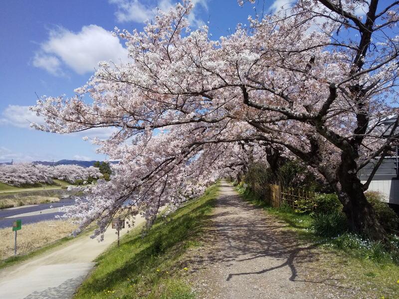 京都 オススメ 桜 スポット 賀茂川 桜1/ 京都 ブログガイド
