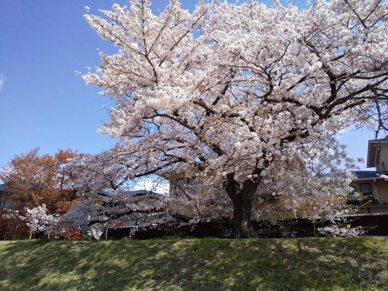 龍の桜 2019 / 京都 ブログ ガイド
