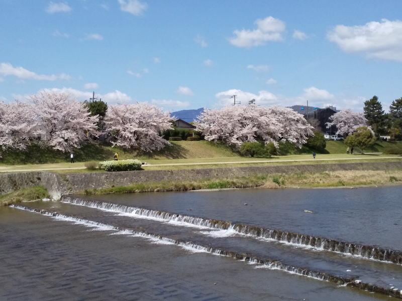 京都 桜 洛東 賀茂川 2019 / 京都 ブログ ガイド