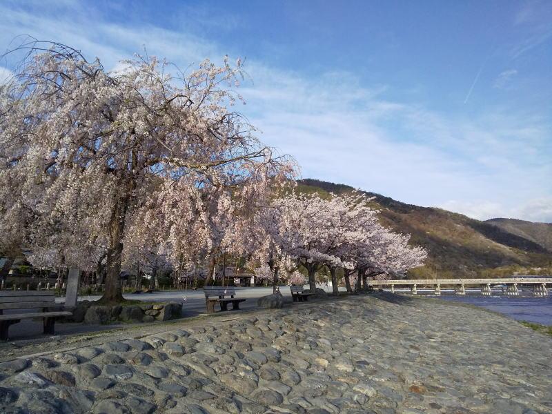 京都 おすすめ 桜スポット 嵐山公園 中之島地区 2019 / 京都 ブログ ガイド