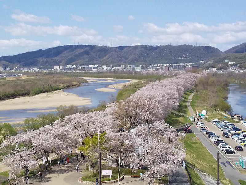 京都 桜 洛南 背割堤 2019 / 京都 ブログ ガイド