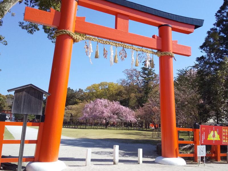 京都 桜 洛北 上賀茂神社 2019 / 京都 ブログ ガイド