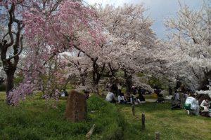 京都府立植物園 桜 2019 / 京都 ブログ ガイド