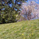 半木の道 タンポポ 2019 / 京都 ブログ ガイド